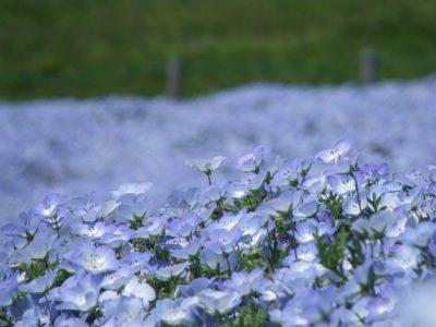 ネモフィラ 公園 茨城県 青 花 植物